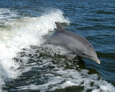 dolphin-nasa-public-domain-ksc-04pd-0178.jpg